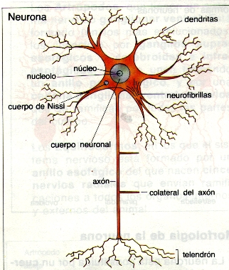 1-Composición de las neuronas.