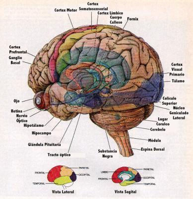 5-Los hemisferios cerebrales.